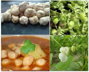 Chickpea Seeds White LARGE NON STARTCHY Spanish Gourmet Garbanzo  SOW NOW!