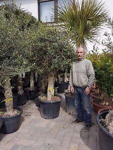 Olivenbaum-Europea-Hojiblanca-Stammumfang-ca-37cm