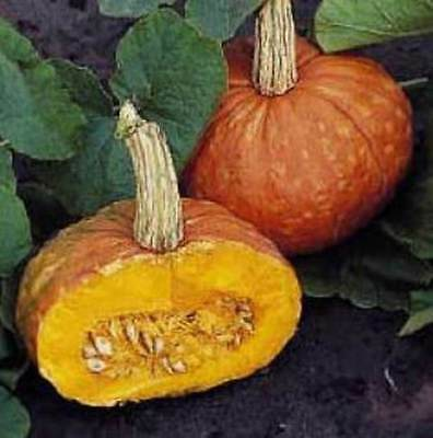 MOOREGOLD BUTTERNUT SQUASH 15 SEEDS NICE THICK SMOOTH TEXTURED MEAT HEAVY YIELDS