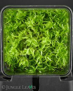 Sphagnum cristatum (lebendes Torfmoos) Terrarium Moorbeet Carnivoren