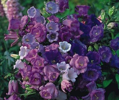 Canterbury Bells mixed 'Calycanthema'  500 seeds *Free P&P*