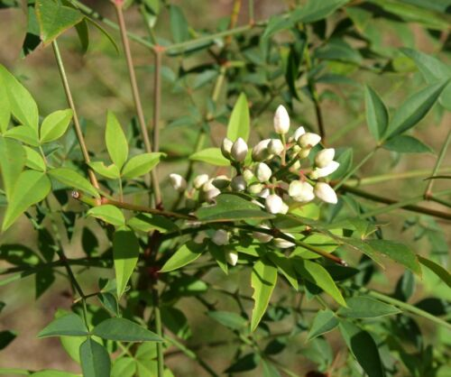 Heavenly Bamboo seeds 40 graines fraîches de bambou sacré Nandina domestica