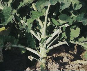 Pane galiziano - Foraggio seeds 2500 semi Cavolo Gigante Cavallo