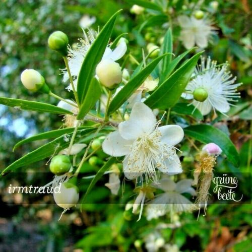 Vera MRTE 50 semi Myrtus communis BONSAI sposa myrte profumo di spezie erbe seeds
