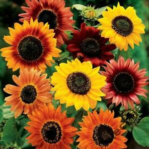SUNFLOWER-SUMMER-BEAUTY-80-seeds-Helianthus-mix-of-varietes-amp-colors