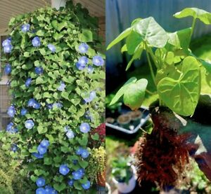 Homegrown MORNING GLORY 4 STEMS Fragrant Flower Annual Live Plant perennial seed
