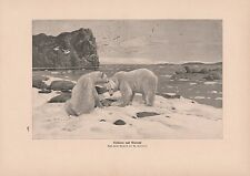 Eisbären Ursus maritimus Walrosse Odobenus rosmarus DRUCK von 1913 walrus