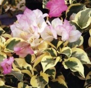 Image Is Loading Bambino Arora Bougainvillea Dwarf Pink Amp White Flowers