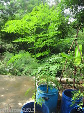 Dwarf DRUMSTICK / SAJNA - Moringa oleifera Vegetable Seeds pack of 10 Seeds