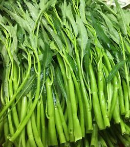 50+ Thai Water Spinach seeds Ong Choy Kangkong Kong Xin Cai Garden Vegetable USA