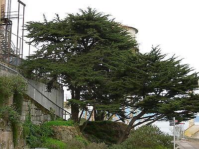 Monterey Cypress Cupressus Macrocarpa Tree Seeds Evergreen Bonsai Topiary Ebay