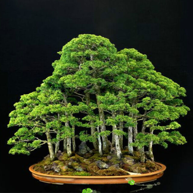 20pcs Japanese White Pine Pinus Parviflora Green Plants Tree Bonsai Seeds new'