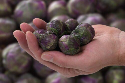 Graines Brussels Sprouts Rosella Légumes Bio Heirloom Russe Ukraine