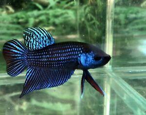 Betta Fish Male Wild Alien So Beautiful 😍😍😊😊BAF433