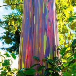 Rainbow Eucalyptus Eucaliptos Medicinal Live Plant 1 2 Tall Ebay