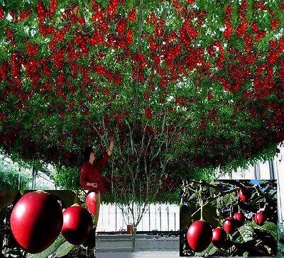 Tropischer Tomatenbaum frostfest Ideal für Balkon /& Terrasse Samen ....