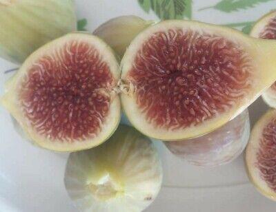3 fresh cuttings Free shiping CERRETTO Biggest fruit