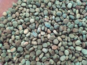 200 American Stratified Ginseng Seeds