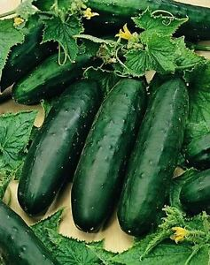 Marketmore Cucumber Seed Sow NOW APRIL MAY 10 Seeds
