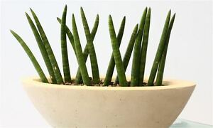 Image result for 9. Cylindrical Snake Plant, Sansevieria cylindrica