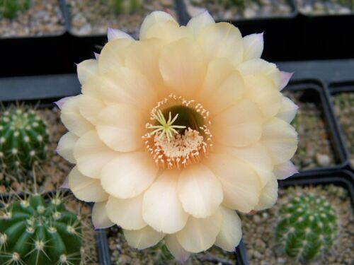 1000 graines Echinopsis trichocereus hybrides Chic MEX Bex