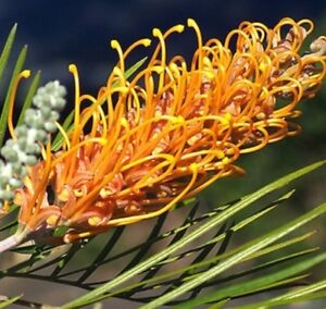 Honey gem grevillea native all year gold yellow flowers plant in image is loading honey gem grevillea native all year gold yellow mightylinksfo