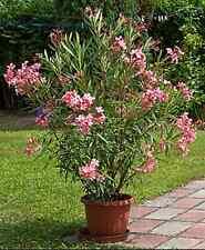 100 Oleandersamen Nerium oleander Rosenlorbeer  für Bäumchen oder Busch