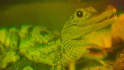 Afrika 3D Krokodil Holographie Gator Kaiman Hologramm Hologrammbild Tier