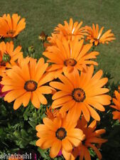 (Pack of 30 seeds) African Daisy seeds-S-#94004# -Orange & Yellow Mix