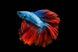 Red Blue Loyal Half Moon Betta Male