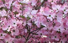 """2 Pink Dogwood Tree 8-16"""" tall"""