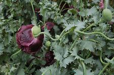 NERO papavero 120 semi papavero somniferum var. paeoniflorum più scura