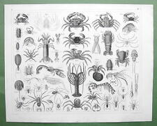 Animals Archnida Crustacea Spiders Crab Tarantula - Superb 1844 Engraving Print