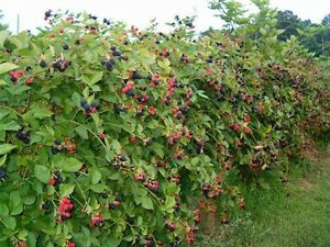 NORTH-CAROLINA-Wild-Blackberry-thimble-berry-UNCULTIVATED-3-plants