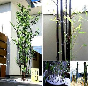 Das Bild Wird Geladen Schwarzer Bambus Samen Deko Fuer Die Wohnung Garten
