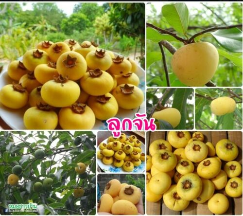 *UNCLE CHAN* SEED Gold Apple Diospyros decandra rare fruit native fresh 2019