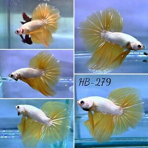 (HB-279) Golden Dragon Scale Big Tail Live Halfmoon Male Betta Fish High Quality