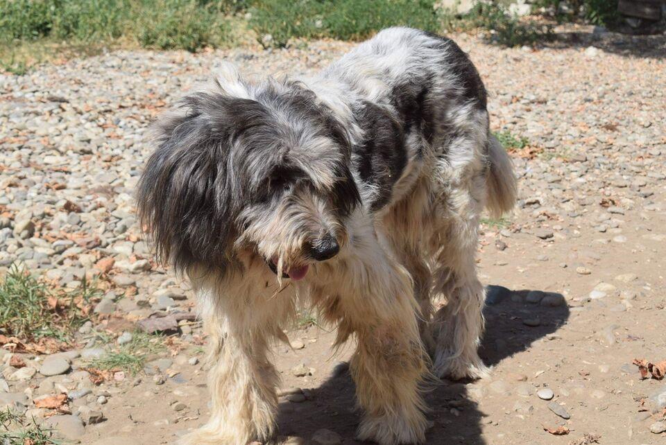 Blanding, hund, 7 år