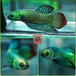 Live Betta Fish Male FIGHTING Mahachai Wild Betta #B862