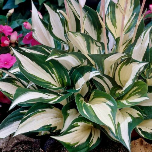 Plantes Hosta Fire and ice 1 litre