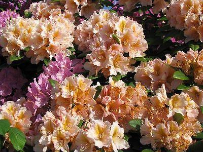 Rhododendron Hybride 'Lily Dance' Frühlingsblüher