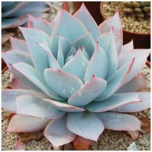 Echeveria colorata 10 seeds Rare Cactus Succulent Garden Plant Gift Flower
