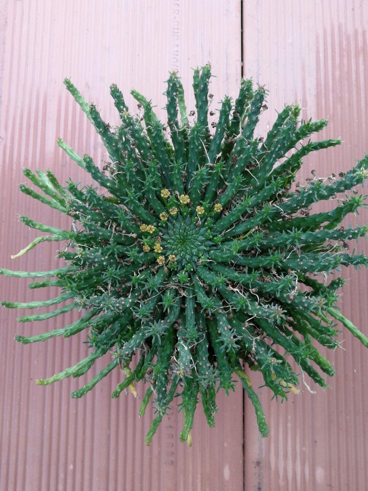 Euphorbia gorgonis rara Olla 14 Cm sobre raíces