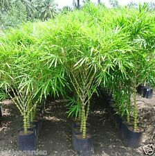 Rare Buddha's Belly Bamboo ,Dwarf Green Bamboo for Garden -20 bamboo seeds