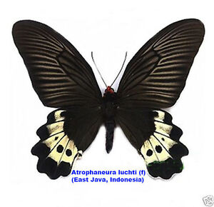 Butterfly - Atrophaneura luchti (f) - Mr. Argopuro, East Java, Indonesia -Rare