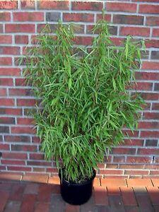 Bambus Hohe 160 170 Cm Winterhart Fargesia Murielae Jumbo