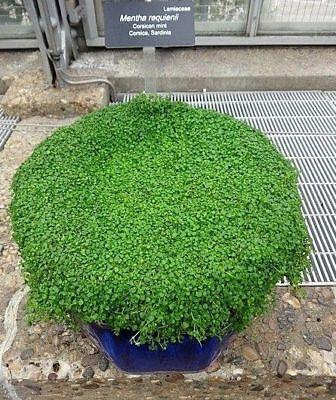 Full plant large plant Mint-Corsica Mentha requienii Corsican mint live plant.
