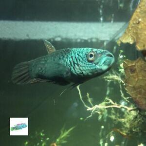 Dragon Scale Antuta Wild Betta Fish Live (PAIR) Super Rare