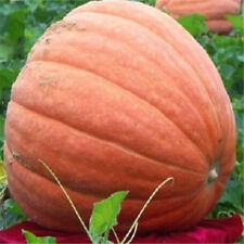 FD1037 Pumpkin Seed Giant Pumpkin Vegetables Seed Tender Juicy Healthful 5pcs~
