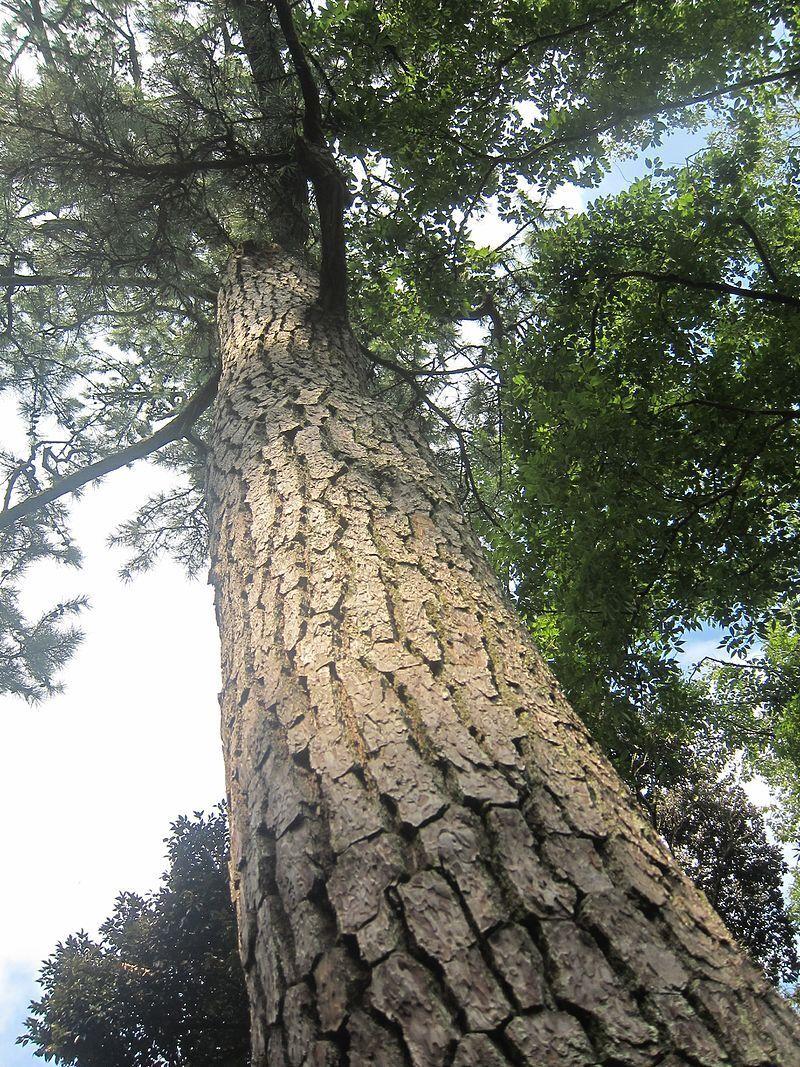 50 x Pinus Thunbergii seeds. Japanese Black Pine tree seeds